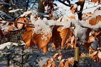 Blätter im Winter am Baum