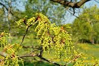 Blattaustrieb und Blütenentfaltung