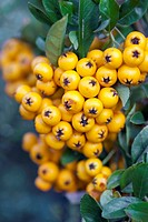 PYRACANTHA COCCINEA 'SOLEI D'OR'