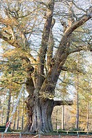 MAINTENANCE WORK ON THE HONYWOOD OAK QUERCUS ESTIMATED AT 800 YEARS OLD MARKS HALL ESSEX.  THERE WAS ONCE AROUND 300 OAKS WHICH TOOK THE NAME OF THE L...