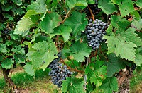 black grapes and vine leaves in vineyard, baden
