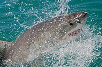 Great White Shark,Carcharodon carcharias,Gansbaai, Western Cape, South Africa, Africa