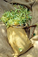 sack used for Tilia flowers picking, Drome department, region of Rhone-Alpes, France, Europe