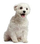 Maltese dog, 1 year old, sitting in front of white background