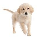 Golden Retriever puppy (4 mmonths old)
