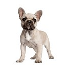 Portrait of French bulldog standing in front of white background