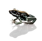 Side view of Golfodulcean Poison Frog, Phyllobates vittatus, against white backg