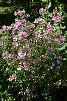 Pink flowers blooming in garden