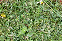 chopped lawn green grass