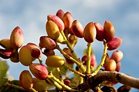 Pistachios on the branch