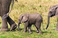 African elephants, (Loxodonta africana), Masai Mara National Reserve, Kenya, East Africa.