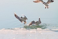 Seagulls hunt in the venetian glacial lagoon