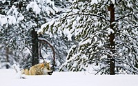 Gray Wolf (Canis lupus) snarling in snow, Kuhmo, Finland, March 2012