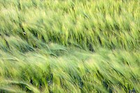 Barley (Hordeum vulgare). Wind sweeping across an unripe field