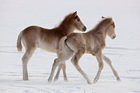 Haflinger Horse. Two foals playing on a snowy meadow