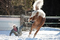 Haflinger Horse. The stallion Atlas with bareback rider involuntarily falling to the ground. Sequence 5/6