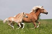 Haflinger Horse. Mare Belinda and foal galopping on a meadow