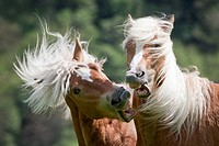 Haflinger Horse. Two young stallions squabbling on a meadow