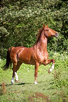 Hackney Horse. Chestnut horse trotting on a meadow