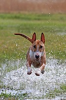 Miniature Bull Terrier. Adult running on a flooded meadow
