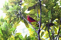male Summer Tanager (Piranga rubra)