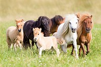 Miniature Shetland Pony. Group of mares and foals in a gallop on a meadow