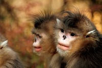 Black Snub-nosed Monkey (Rhinopithecus bieti). Portrait of two adults