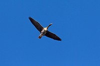 European White-fronted Goose (Anser albifrons) in flight against blue sky