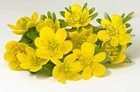 DEU, 2009: Winter Aconite (Eranthis hyemalis, Eranthis hiemalis), flowers, studio picture.
