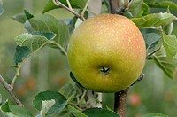 DEU, 2008: Domestic Apple (Malus domestica), variety: Zabergaeurenette, ripe fruit on tree.