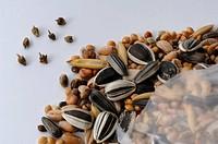 DEU, 2007: Annual Ragweed, Common Ragweed (Ambrosia artemisiifolia), seeds found in bird food. .