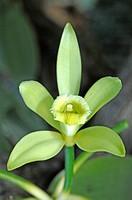 DEU, 2007: Vanilla (Vanilla planifolia), flower.