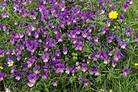 DEU, 2005: Heartsease, Johnny Jump Up, Wild Pansy (Viola tricolor), flowering.