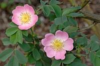 DEU, 2007: Rose (Rosa dumalis x pendulina ), flower.