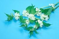 DEU, 2004: White Dead Nettle (Lamium album), flowering stems, studio picture.