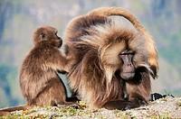 Gelada Baboons, pair, Simien mountains national park, Amhara region, North Ethiopia / (Theropithecus gelada)