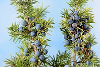 Juniper beeries / (Juniperus spec.)