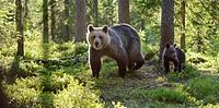 Brown Bear with juvenile, Ursus arctos, Finland / Braunbär mit Jungtier, Ursus arctos, Finnland