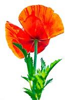 Poppy flower. Big decorative garden poppy