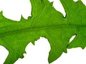 macro dandelion leaf