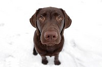 a young labrador dog sitting in snow in Germany