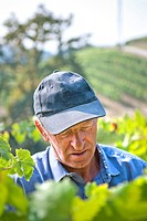 Man Inspecting Grapes in Vineyard, Close-Up