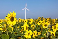 Germany, North Rhine-Westphalia, View of sunflower field with wind turbine in background