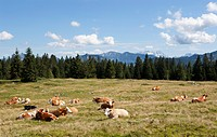 Austria, Salzkammergut, Cow sitting in pasture at Illinger Alp