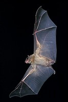Mouse-Eared Bat, myotis myotis, Adult in Flight