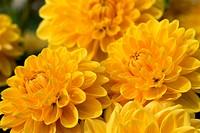 Yellow dahlia species