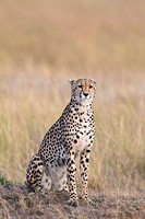 Cheetah (Acinonyx jubatus) adult searching for prey, Maasai Mara National Reserve, Kenya, Africa