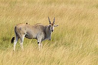 Common eland (Taurotragus oryx) in savanna, Maasai Mara National Reserve, Kenya, Africa