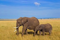 African elephant (Loxodonta africana) mother with calf, Maasai Mara National Reserve, Kenya, Africa