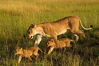 Lioness (Panthera leo) with two cubs, Maasai Mara National Reserve, Kenya, Africa
